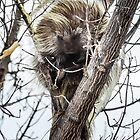 Porcupine by westernphoto