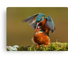Mating Kingfishers  Canvas Print