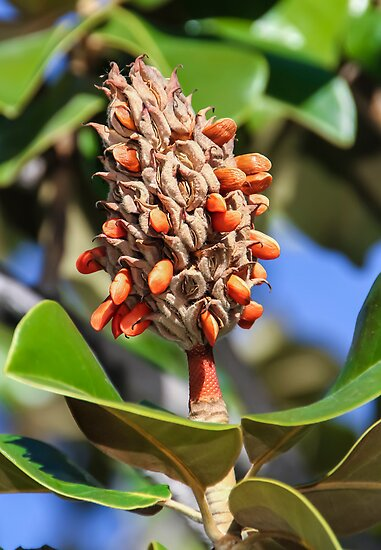 Magnolia Seeds by heatherfriedman