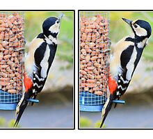 Great spotted woodpecker collage by missmoneypenny