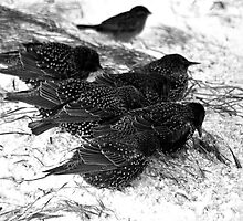 starlings in the snow by NordicBlackbird
