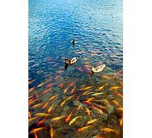 Waokele Pond and Koi Study 6  Photographic Print