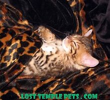 Baby Bengal Kitten Sleeping by LostTemplePets