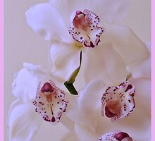 Soft Orchid Dream. by Terence Davis