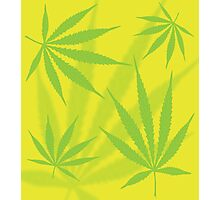 Cannabis Leaves Photographic Print