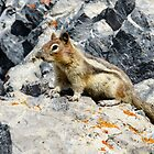 Golden-Mantled Ground Squirrel on Sulphur Mountain by Chris  Randall