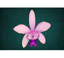 Orchid Award Winning Pink Purple Flower Natural Photographic Print