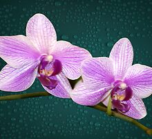 Orchids Delicate Purple and White Flowers by Gotcha29