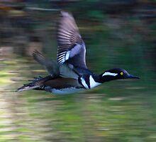 Hooded Merganser in flight by jozi1