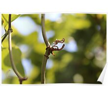 Grapevines and Sunlight Poster