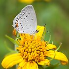 Hairstreak On Yellow by Thomas Young