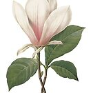 Vintage botanical art, elegant  magnolia flower. by naturematters