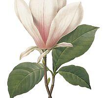 Vintage botanical art, elegant  magnolia flower. by naturematters