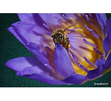 Bee and Water Lilly Award Winning Photo Photographic Print
