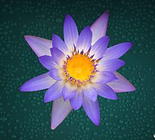 Water Lily Purple and Yellow Pastel Colors Natural by Gotcha29