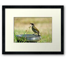 White-eared Honeyeater. Cedar Creek, Queensland, Australia. Framed Print
