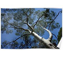 Standing Tall - Sinclair's Gully, Norton Summit, Adelaide Hills Poster