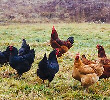 Free Range Chickens by PatiDesigns
