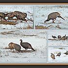 Wild Turkeys - Meleagris gallopavo by MotherNature2