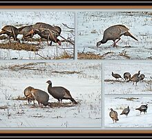 Wild Turkeys - Meleagris gallopavo by MotherNature2