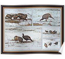 Wild Turkeys - Meleagris gallopavo Poster