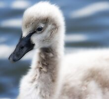 The cygnet by Fran53