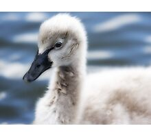 The cygnet Photographic Print