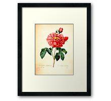 Vintage botanical art, red rose flower. Framed Print