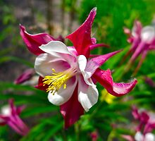 """Columbine in Vail, Co"" by AlexandraZloto"