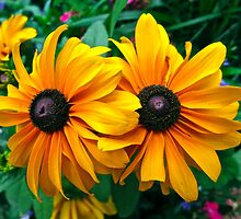"""Twin Black-Eyed Susans"" by AlexandraZloto"