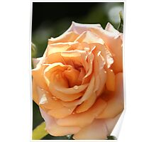 flower-orange-rose Poster