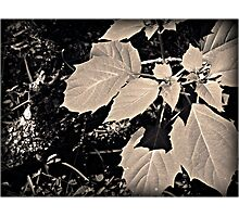 Leaves Photographic Print