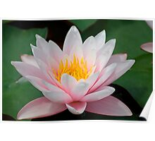 water lily over green leafs Poster