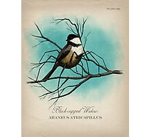 Black-capped Widow Photographic Print