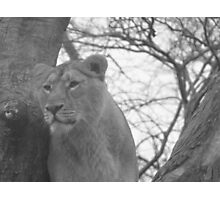 Dublin Zoo Lioness Photographic Print