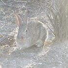 Cottontail Rabbit in the Desert by Ingasi