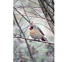 Winter Cardinal - Mrs. C. Photographic Print
