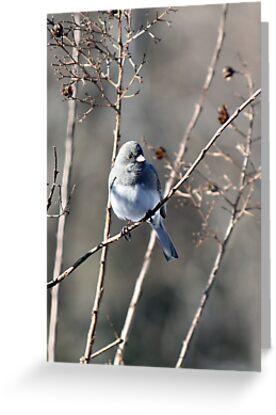Snowbird - Dark-eyed Junco by WalnutHill