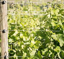 Vintner's Green by Belinda Osgood