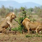 THIS IS SERIOUS - THE LION - Panthera leo - LEEU by Magriet Meintjes