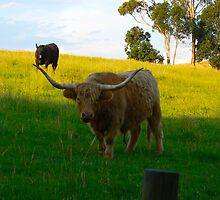 Highland Bull and Angus Cow by angus-m
