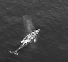 Gray Whale by Greg Amptman