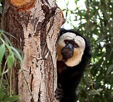 White face Saki Monkey by Neil Clarke
