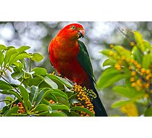 King Parrot in the front yard Photographic Print