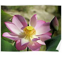 a lotus plant in bloom Poster