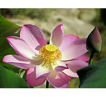 a lotus plant in bloom Photographic Print