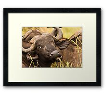 Cape Buffalo Framed Print