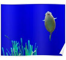 Boxfish Poster