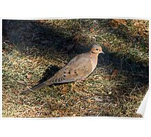 Female Mourning Dove Poster