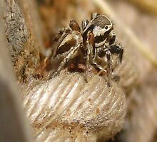 Jumper Rope (Salticidae) Jumping Spider by Michelle McCullough